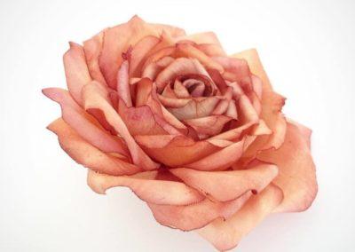 Autunm Rose